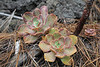 Aeonium davidbramwellii, a very variable species, along LP 2, near Monte de Luna (E-coast)