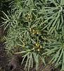 Euphorbia obtusifolia ssp. broussonetii, syn. E. broussonetii, syn. E. lamarckii, S of Fuencaliente (Los Canarios) LP207