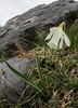 Narcissus  moschatus, syn. Narcissus pseudonarcissus ssp. moschatus