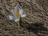 Crocus vernus ssp. albiflorus