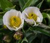 Ranunculus pyrenaeus