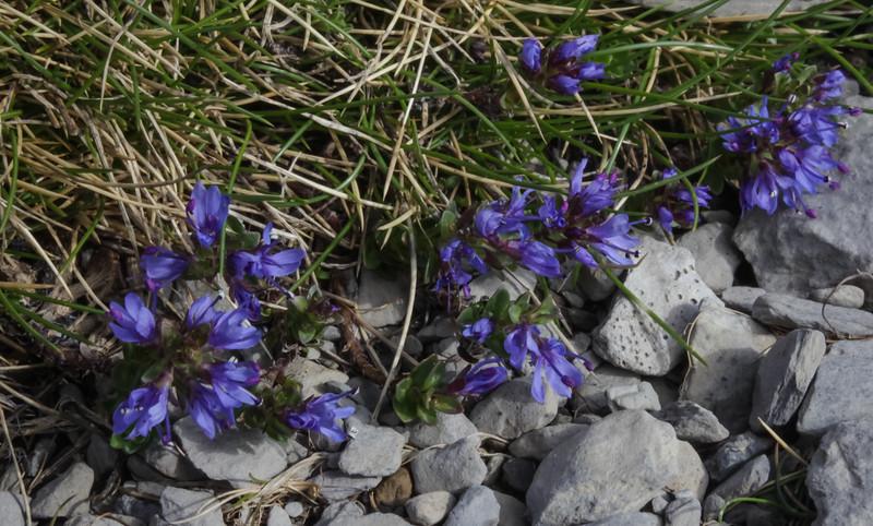 Veronica nummularia ssp. nummularia