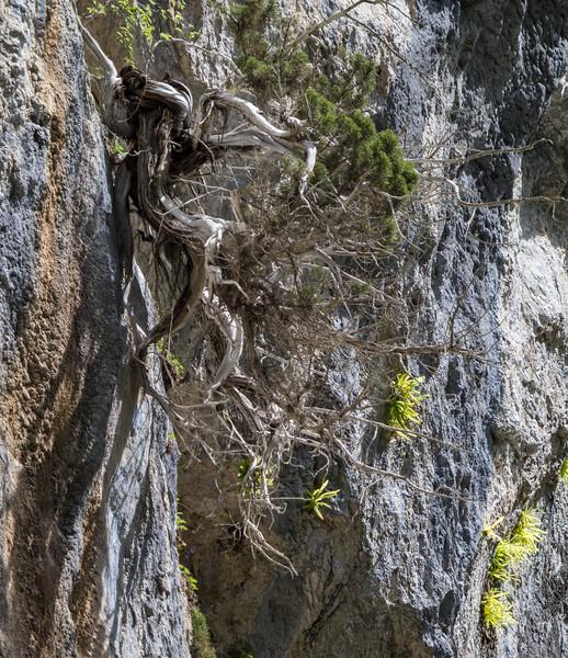 Juniperus sabina or J. phoenicea ?