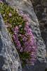 Valeriana longiflora