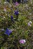 Gentiana acaulis and Primula farinosa