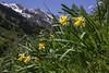 Narcissus pseudo-narcissus ssp. pseudonarcissus