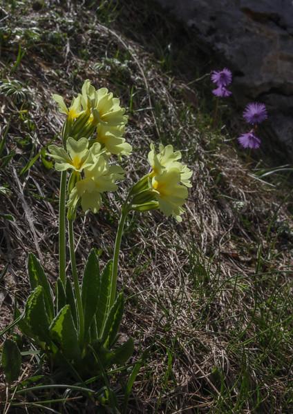 Primula elatior ssp. intricata