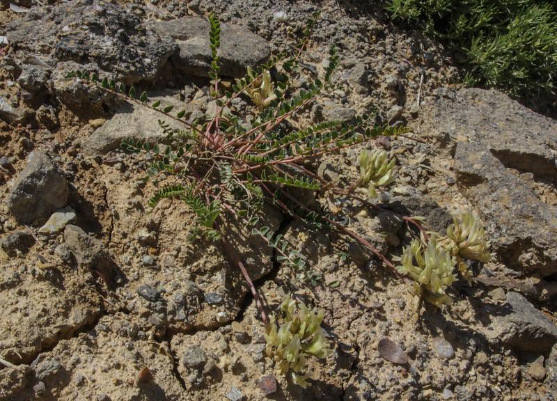 Oxytropis campestris