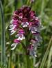 Orchis ustilata