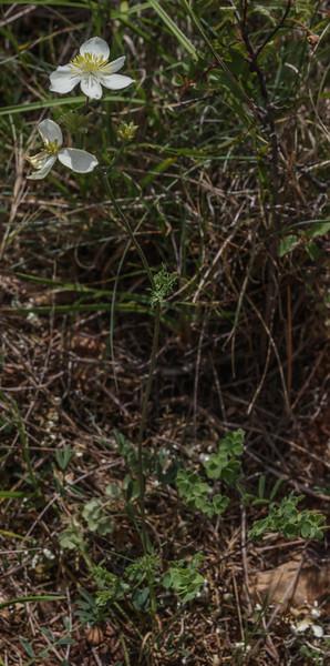 Thalictrum tuberosum