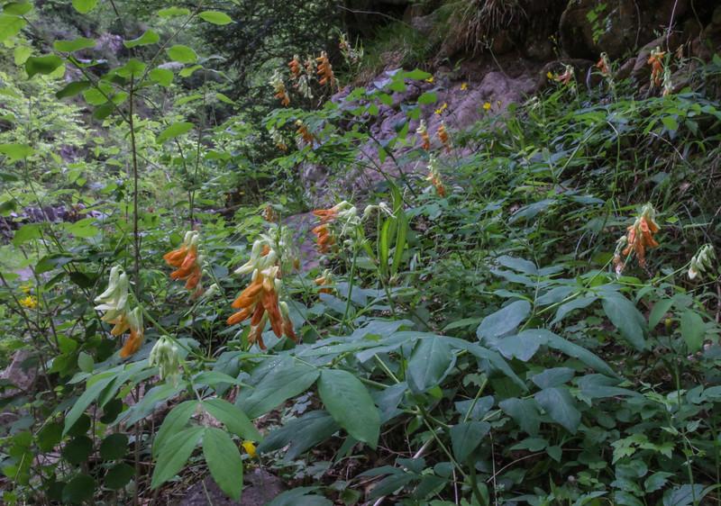 Lathyrus laevigatus ssp occidentalis