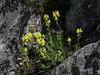 Linaria supina subsp. supina
