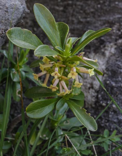 Daphne laureola ssp. philippi