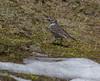 Motacilla flava cf. ssp. flavissima