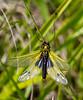 Ascalaphus libelluloides coccajus