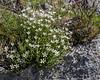 Arenaria ciliata ssp. moehringioides
