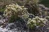 Saxifraga pubescens subsp. iratiana ?
