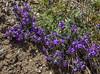 Linaria alpina ssp alpina