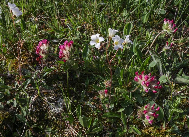 Anthyllis montana and Saxifraga granulata