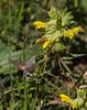 Macroglossum stellatarum on Rhinanthus pumilus ssp pumilus