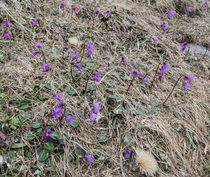 Soldanella alpina ssp. alpina