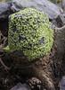 Rhizocarpon geographicum ?