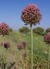 Allium pyrenaicum