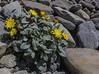 Crepis pygmaea ssp. pygmaea