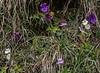 Pinguicula grandiflora, P. alpina and Primula farinosa