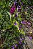 Dactylorhiza majalis and Pinguicula grandiflora