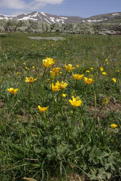 Ranunculus  gouanii