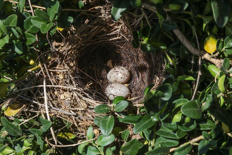 Nest of Emberiza calandra
