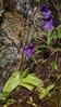 Pinguicula grandiflora ssp. grandiflora