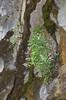 Petrocoptis guarensis