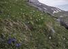 Gentiana verna ssp. verna, Ranunculus pyrenaeus and Narcissus  moschatus
