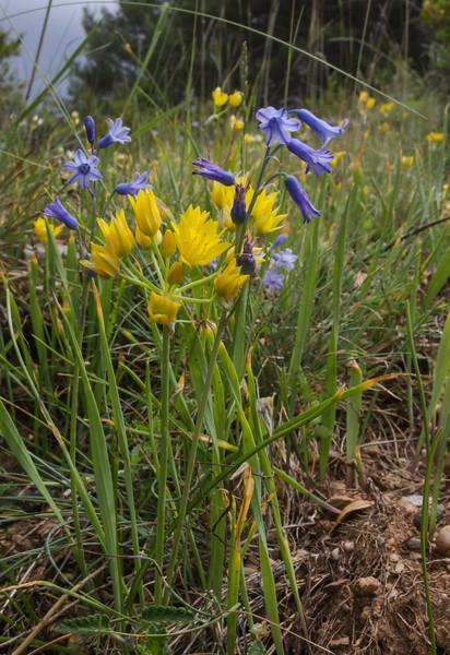 Allium moly and Hyacinthus amethystinus