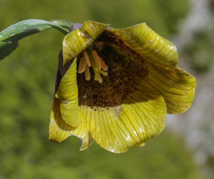 Fritillaria pyrenaica
