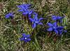 Gentiana verna ssp. verna