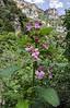 Melittis melissophyllum subsp. melissophyllum