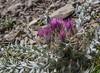 Carduus carlinoides ssp carlinoides