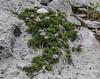 Globularia cordifolia ssp nana