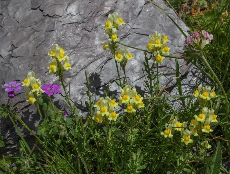 Linaria supina ssp. supina or pyrenaica ?