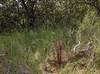Boulardia latisquama