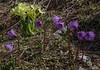 Soldanella alpina and Primula elatior ssp. intricata