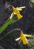 Narcissus pseudonarcissus ssp. pallidiflorus