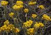 Helichrysum stoechas subsp. stoechas