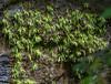 Pinguicula longiflora