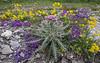 Linaria alpina, Carduus carlinoides ssp. carlinoides