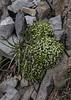 Gallium pyrenaicum or G. caespitosum ?