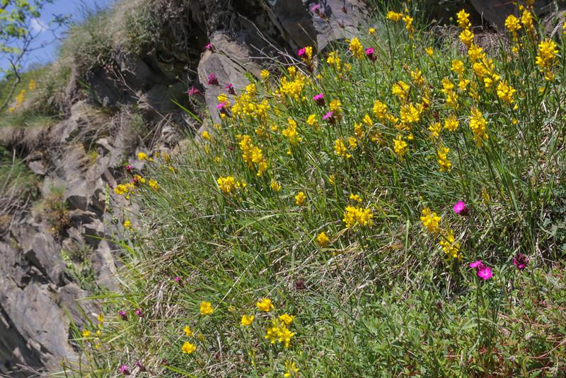 Genista sagittalis   and Dianthus carthusianorum